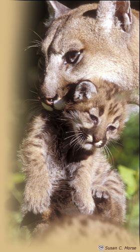 Cougar carrying cub